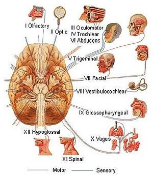 English: Cranial Nerves