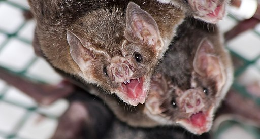 Vampire bat allogrooming