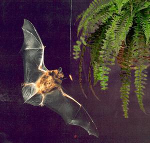 English: Echolocating bats adjust their vocali...