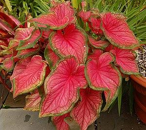 Plant canopy (Caladium bicolor 'Florida Sweeth...