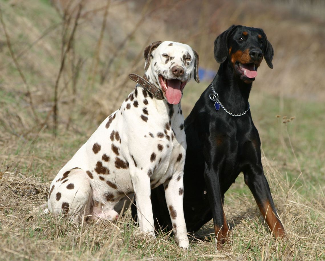 1274px Dalmatian and Dobermann Doberman Puppies For Sale In Pa