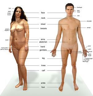Human male and female - anatomical features po...