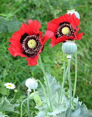 Oriental poppies gone wild - geograph.org.uk -...