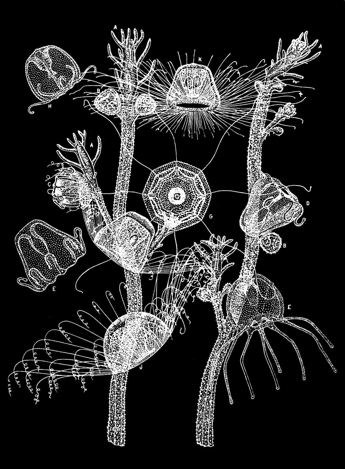 Turritopsis Dohrnii Wikispecies