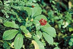 feuilles et fruits de Panax ginseng