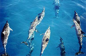 Photo of Spinner dolphins (Stenella longirostr...