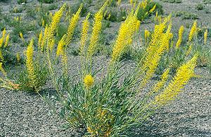 Stanleya (plant)