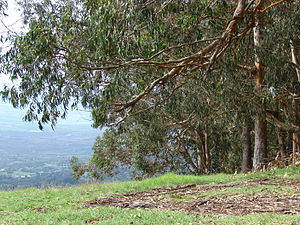 English: Eucalyptus globulus (view towards Kul...