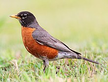 https://i2.wp.com/upload.wikimedia.org/wikipedia/commons/thumb/b/b8/Turdus-migratorius-002.jpg/220px-Turdus-migratorius-002.jpg