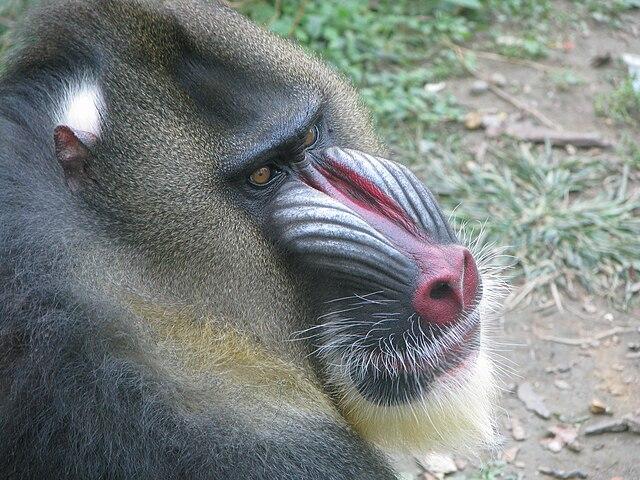 Mandril mono cercopitécido africano