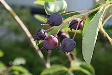 June Berry Amelanchier lamarckii