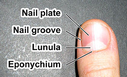 Fingernail label (enwiki).jpg