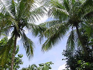 Palm trees of unknown species. Identification ...