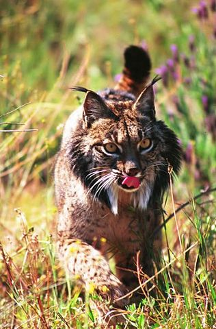 Iberian Lynx in Parque Nacional de Doñana, Spain. Photo by José María Alvarez