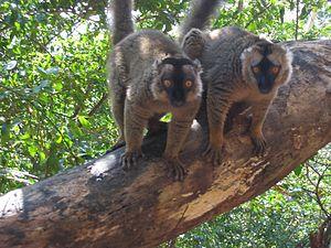 Makis sur l'îlot de Mbouzi (Mayotte)
