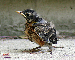 American Robin chick learning to fly. Blue Hil...