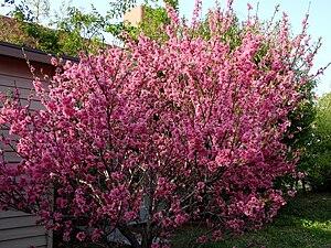 English: Peach tree in bloom