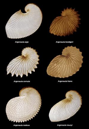English: Argonauta species Images taken by Use...