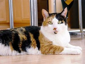 Calico cat (Felis silvestris catus)