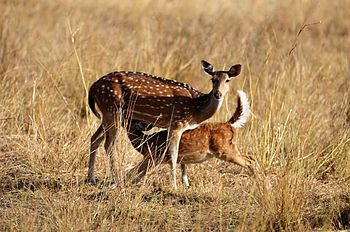 English: hough most people go to Bandhavgarh N...
