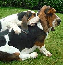 220px Duo de basset hound Hound Dog Pitbull Mix