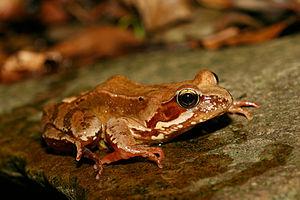 Common Frog (Rana temporaria). Photo taken nea...