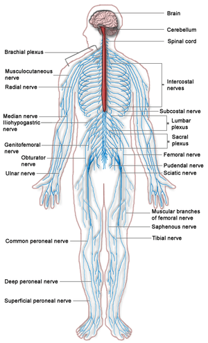 English: A diagram of the Human Nervous system...