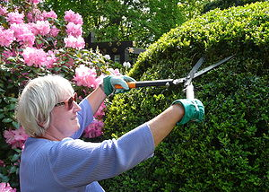 Boxwood clipping with two-handed shears