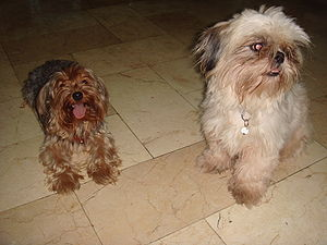 Yorkshire Terrier and Shih Tzu dogs