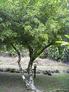 https://i2.wp.com/upload.wikimedia.org/wikipedia/commons/thumb/b/bb/Aglaiaodorata1web.jpg/220px-Aglaiaodorata1web.jpg