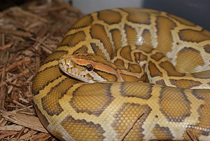 Caramel Burmese Python