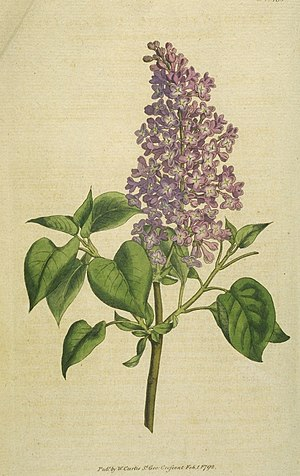 "Purple lilac symbolizes ""first emotions o..."