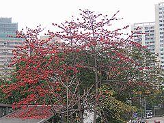 Randu alas berbunga di musim semi