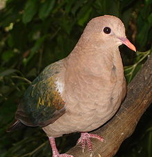 Emerald Dove, Chalcophaps indica, native to tropical southern Asia and Australia