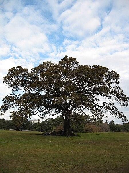 File:Fig Tree.jpg