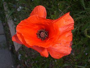 English: Flower of P.rhoeas Italiano: Fiore di...