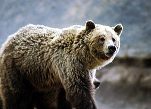 Grizzly in Yellowstone National Park
