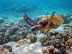 Chelonia mydas berenang di sebuah taman karang di Hawaii.