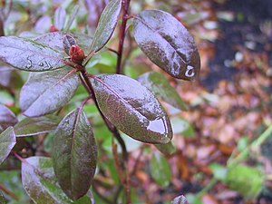 Rain drops on a rhododendron leaf.