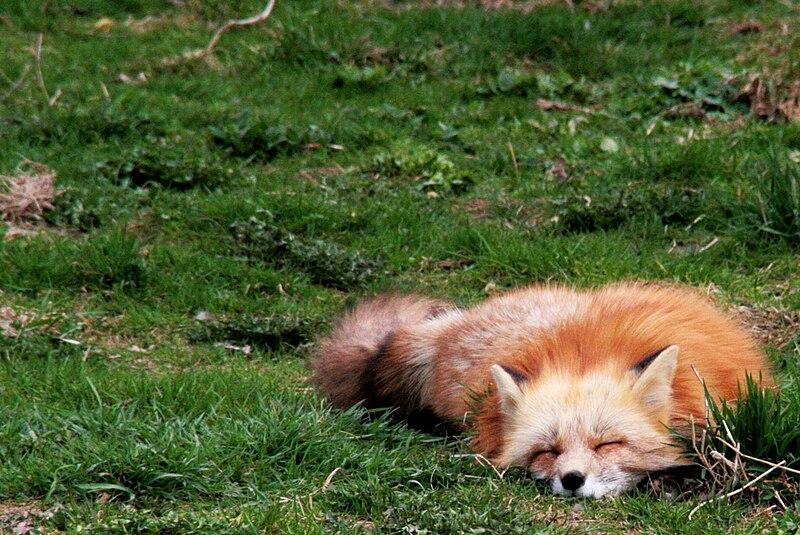 Schlafender Fuchs, nicht schlafende Gefahr. Wikimedia CC-BY-SA Pauerhauer