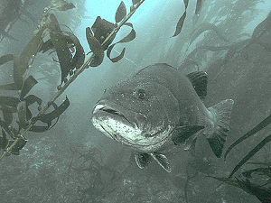 Giant Black Sea Bass