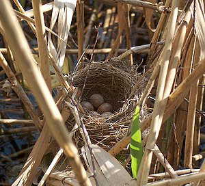 Deep cup nest of the Great Reed-warbler