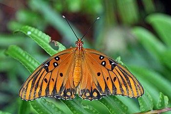 English: Agraulis vanillae butterfly.