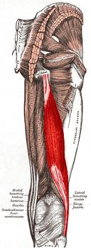 Biceps femoris muscle long head