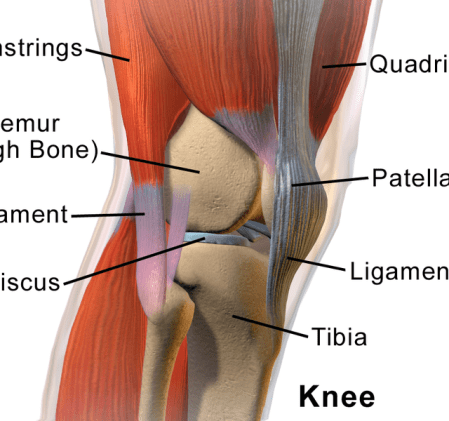 Joint pain scams lies and exaggerations part 1 skeptoid a cross section of the knee seen from the front on an angle via wikimedia solutioingenieria Choice Image