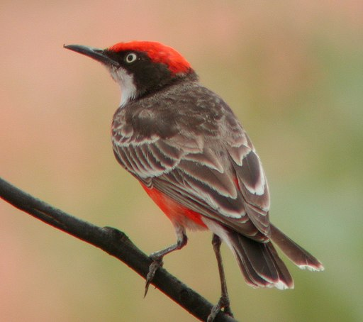 https://i2.wp.com/upload.wikimedia.org/wikipedia/commons/thumb/b/bc/Crimson_Chat_Newhaven_Sep04.JPG/512px-Crimson_Chat_Newhaven_Sep04.JPG