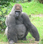 Gorilla Barat(Gorilla gorilla)