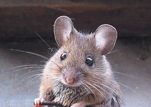 Image result for rodent