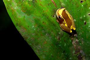 A Clown treefrog (Dendropsophus bifurcus) at Y...
