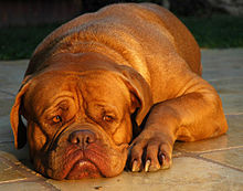 220px Dogue de Bordeaux Pitbull Dog Personality